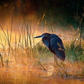 Heron in sunlit mist