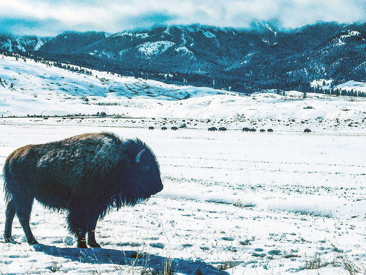 Lone bison in winter. Photo by Corrie Williamson.