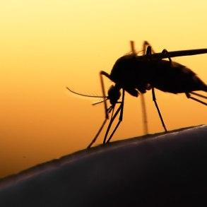 Mosquito in silhouette