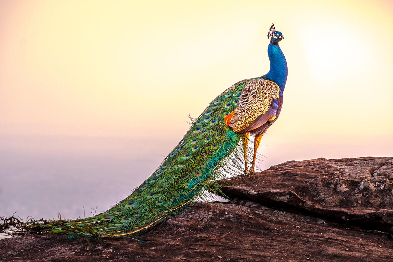 Peacock on rocks, overlooking ocean