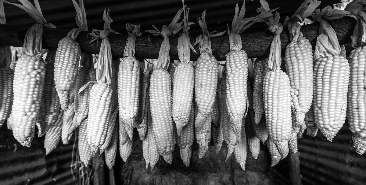Corn drying in shed