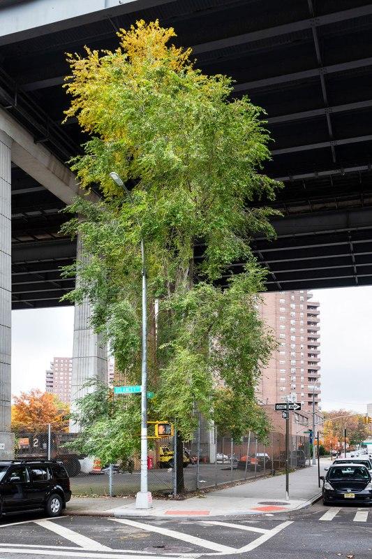 Manhattan, The Lewis Elm, Under the Manhattan Bridge