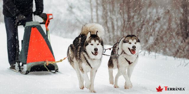 El Alaskan Malamute, perro de trineo, es un fiel compañero del hombre.