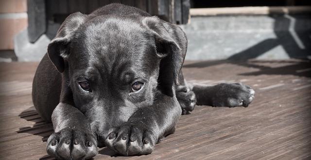perro con ansiedad por separación llorando por miedo a que su amo no vuelva a casa