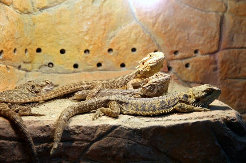 bearded dragon habitat what is the