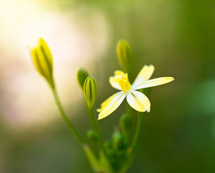 Pretty Face, Triteleia ixioides
