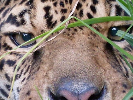La disparition du jaguar menace la forêt atlantique au Brésil