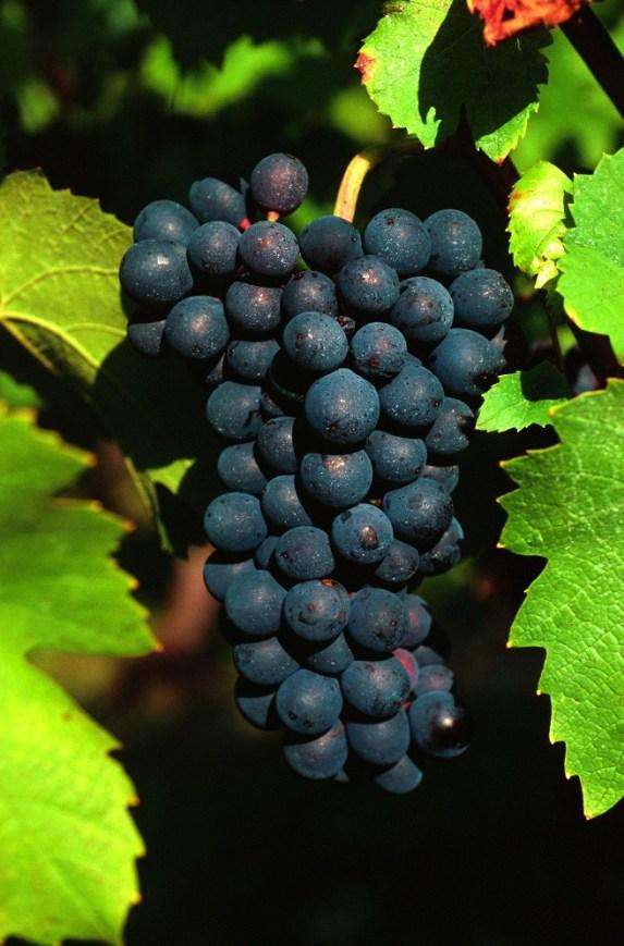 Pinot Noir TerroirEvasion.com