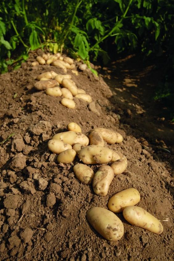 La récolte des pommes de terre en septembre © Pomme de terre Ratte du Touquet