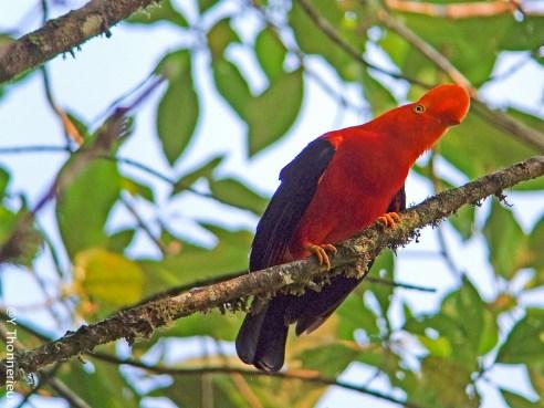 Les Glorieuses de Bressse - Coq de roche Andes - Parc des oiseaux