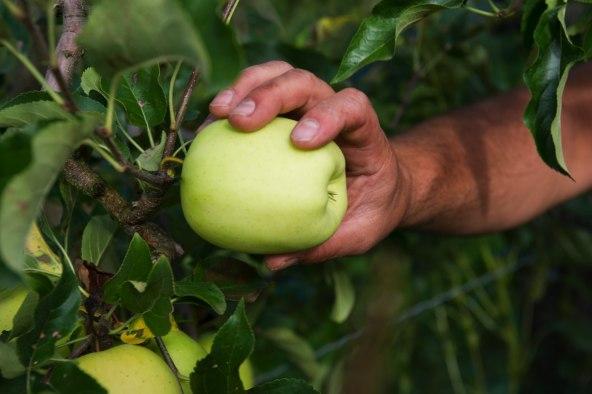 Pommes Golden du Limousin - Cueillette