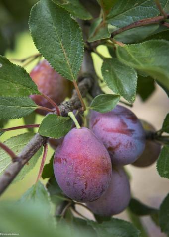 belles-prunes-arbres-terroirevasion-com