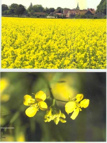 Moutarde de Dijon Edmond Fallot - Fleurs de moutardier