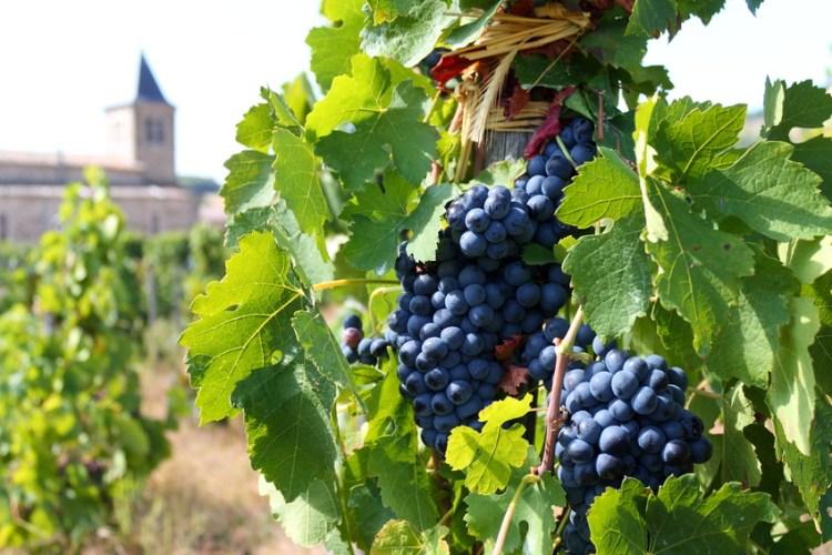 Vin, Vigne, Vignoble, Cotes Du Rhône, Vallée Du Rhône, France