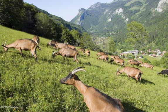Fromages de Savoie - Chèvres du Petit Mont Savoie