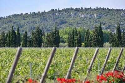 Estoublon Vignes juin 2013