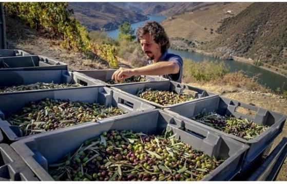 Quinta do Pessegueiro au Portugal - Cueillette des Olives