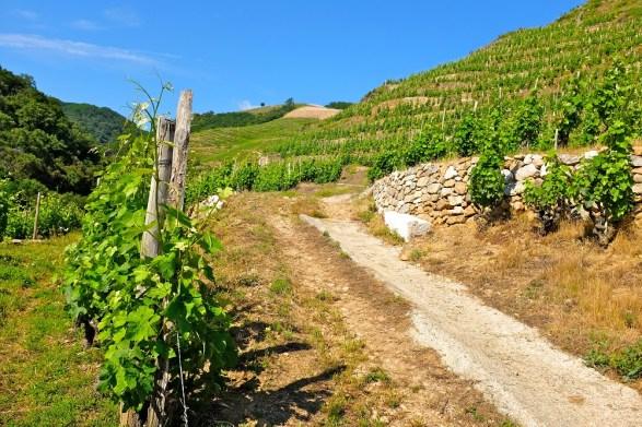 Saint-Joseph-AOC-Vignes-et-chemin