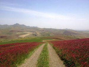 Un campo di Sulla, pianta foraggiera fissatrice di azoto