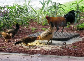 BVI airport chickens rooster.jpg-436