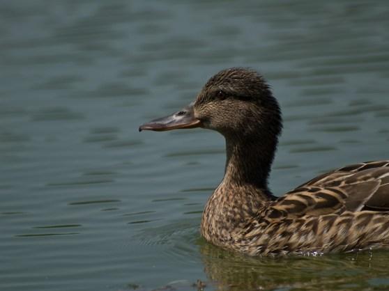 Duck, Bucharest, Romania
