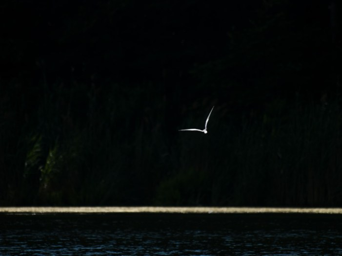 Gull on Snagov Lake, Romania