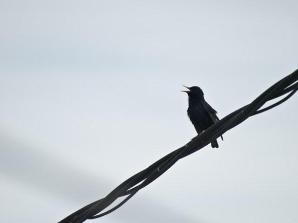 Song, Bird on a wire, Vama Veche, Romania