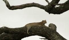 Luipaard in de boom in Tarangire National Park