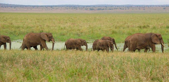 Veel olifanten in Tarangire National Park