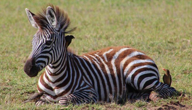 Jonge zebra in Lake Manyara NP