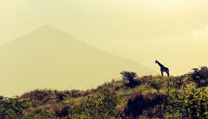 Masai Giraf in Arusha National Park