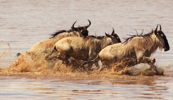 Gnoes diep in het water in Lake Manyara
