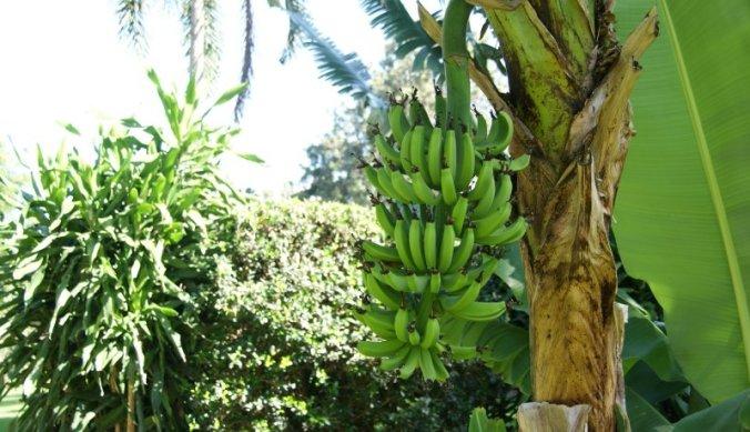 Bananenboom in de tuin