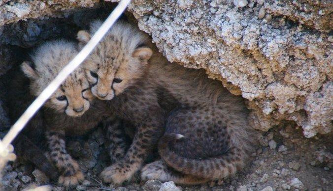 Onschuldige cheeta welpen in de Afrikaanse wildernis