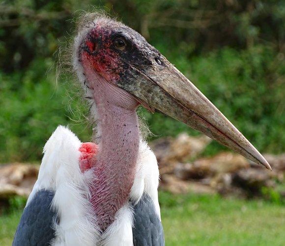 Maraboe Stork vogel