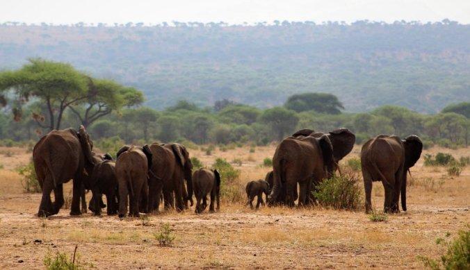 Familie olifanten trekken voorbij in Tarangire National Park