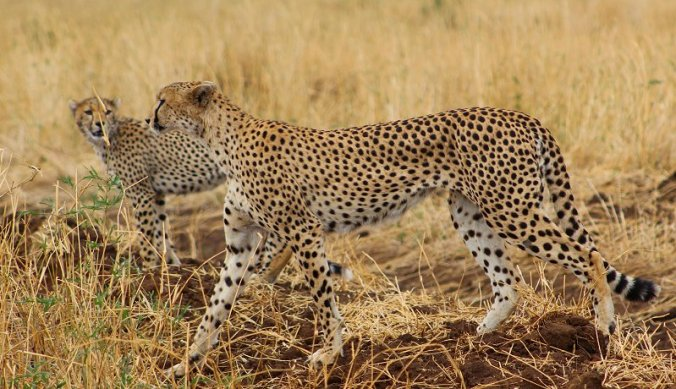 Cheeta met jong op jacht in Tarangire National Park