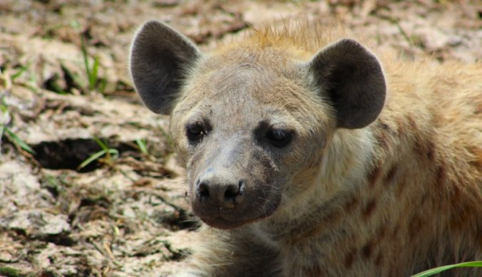 Hyena in Amboseli National Park