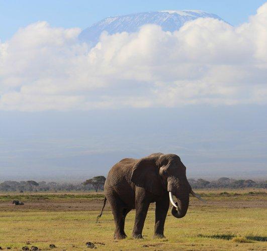 Olifant met besneeuwde Kilimanjaro op de achtergrond in Amboseli