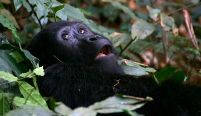 Verbaasde blik van gorilla in Bwindi Forest in Oeganda