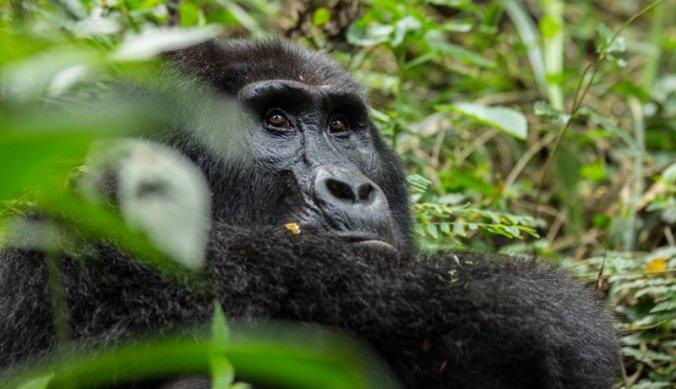 Oog in oog met de berggorilla's in Uganda