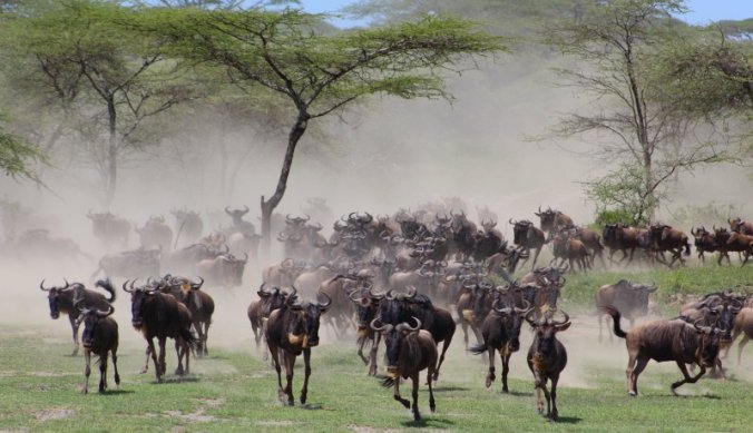 De migratie achterna met de gnoes in Ndutu