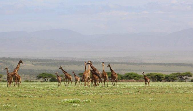 Familie giraffen in de vallei van de Ngorongoro Conservation Area