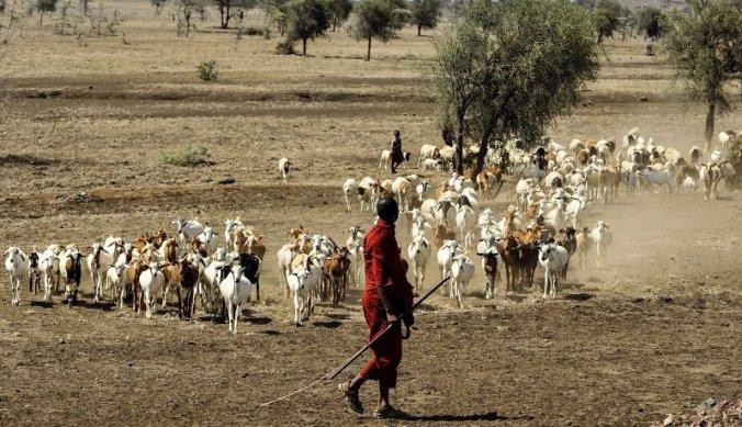 Maasai herder met kudde geiten in Tanzania