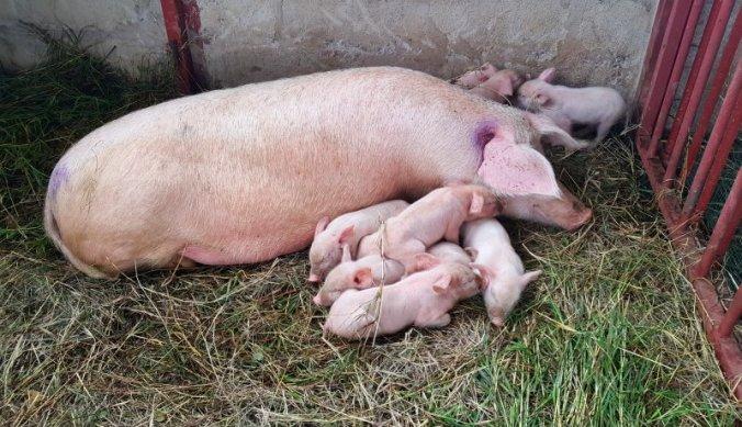 Varkens met biggetjes in stal boerderij Tanzania
