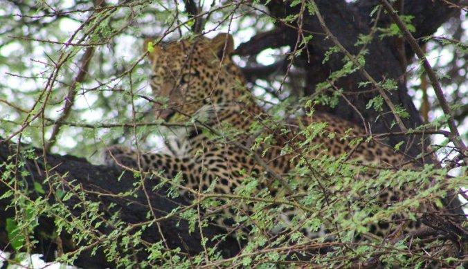 Luipaard verscholen in een boom in Lake Manyara National Park