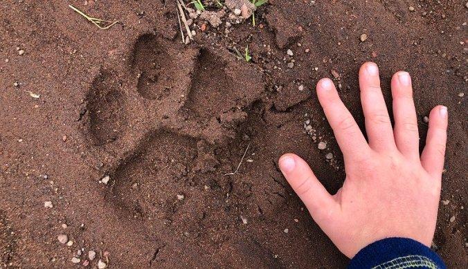 Hand naast pootafdruk van leeuw