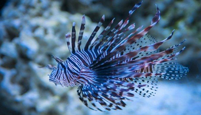 Lion fish bij het snorkelen
