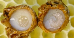Royal Jelly, Rahasia Umur Panjang