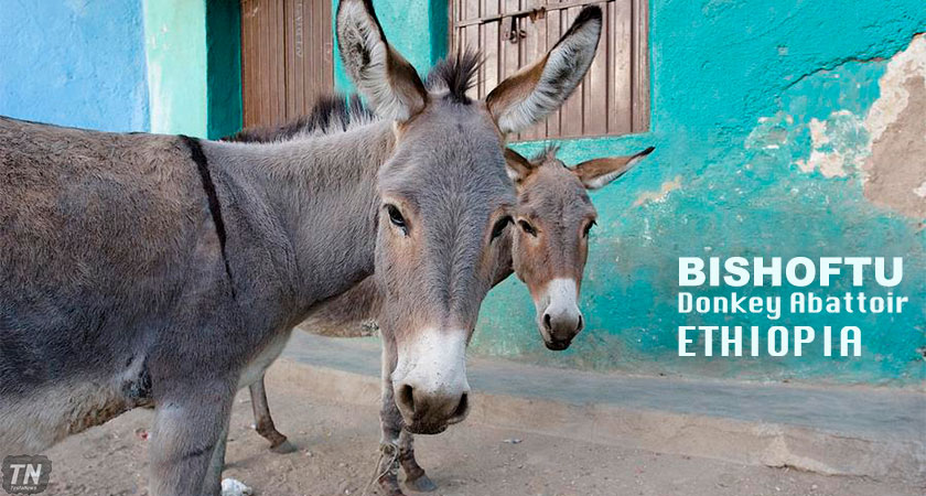 Bishoftu Donkey Abattoir in Ethiopia closed